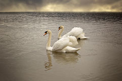 Pair of swans floating on the surface of a lake. Stock Photos