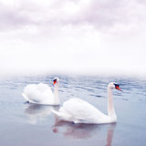 Pair of swans floating on water Royalty Free Stock Images