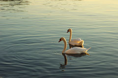 Pair of swans floating on the water surface Stock Image