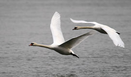 Pair of swans flying Stock Image