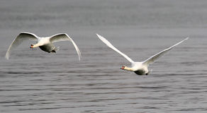 Pair of swans flying Royalty Free Stock Images