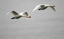 Pair of swans flying Royalty Free Stock Image