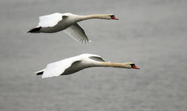 Pair of swans flying Royalty Free Stock Photos