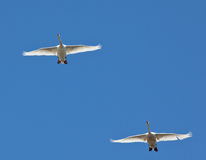 А pair of swans flying in the sky Stock Photography