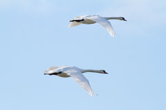 A pair swans flying Stock Photos
