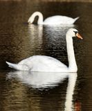 Pair of swans on a lake Royalty Free Stock Images
