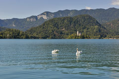Pair of swans on the Lake Bled in Slovenia stock photo