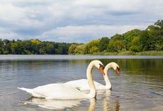 Pair of Swans at a Lake Stock Image