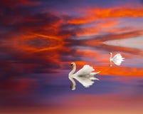 A pair of swans Stock Photos