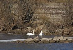 Pair of swans in the lake on a cold winter day Royalty Free Stock Photography