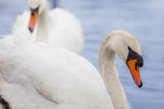 A pair of Swans on a lake Stock Images