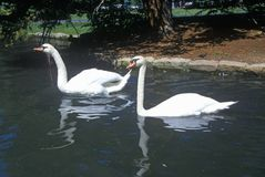 Pair of swans in lake, Sun Valley, ID Stock Photography