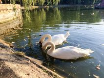 Pair of swans on lake Stock Photo