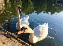 Pair of swans on lake Royalty Free Stock Photography