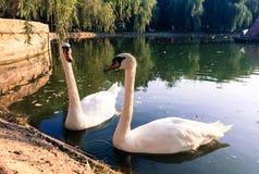 Pair of swans on lake Stock Photos