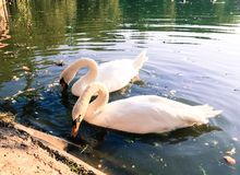 Pair of swans on lake Royalty Free Stock Images