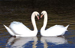 A pair of swans. Stock Photo