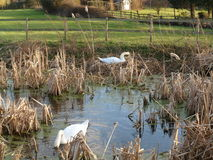 Pair of Swans Nesting Stock Photo