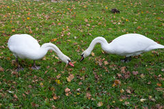 A pair of swans nibbling grass. Swans walking on the grass. Swans eat. White swans on the lawn. Autumn Royalty Free Stock Photo