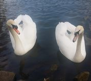 Pair of swans Royalty Free Stock Image