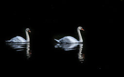 A pair of swans on the pond Stock Photography