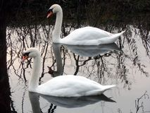 Pair of Swans Portrait Royalty Free Stock Photo