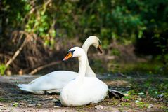 A pair of swans resting on the shore. Proud birds swans, Swans in love, Resting birds on the shore, birds resting, Beautiful swans stock images