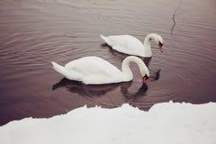 Pair of Swans Stock Photo