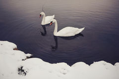 Pair of Swans Stock Images