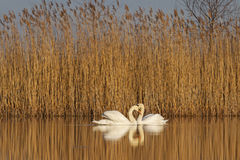 Pair of swans at sunrise . of love Royalty Free Stock Image