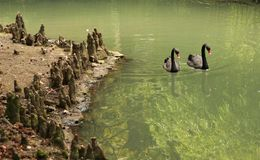 A pair of swans swimmimg in the lake stock images