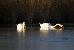 Pair of swans swimming in lake Royalty Free Stock Images