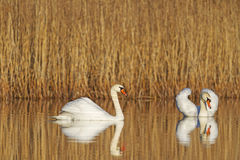 Pair of swans swimming together Royalty Free Stock Photos