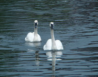 Pair swans of trumpeters (Cygnus buccinator) float. On a smooth surface of a pond Royalty Free Stock Image