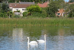 A Pair of Swans Stock Photography