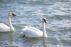 Pair of swans. Stock Image