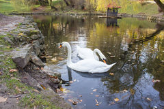 Pair of swans on the water Stock Photography