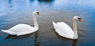 A pair of swans. A pair of white swans in the water Royalty Free Stock Image