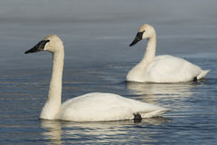 Pair of Swimming Swans Stock Photo