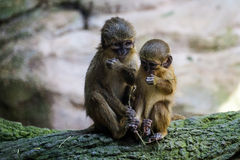 A Pair of Talapoin Monkeys. (Miopithecus talapoin) in the Bioparc Fuengirola stock photo
