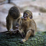 A Pair of Talapoin Monkeys Royalty Free Stock Photos