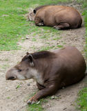 Pair tapir. Pair bored tapir on grass stock image