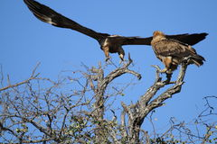 A pair of Tawny Eagles. One of the Tawny eagles flying of in pursuit of possible prey in the Kruger National Park Royalty Free Stock Photo