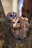 A pair of tawny owl's Stock Photography
