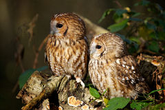 A pair of tawny owl's. Sitting on a log in woodland Royalty Free Stock Images