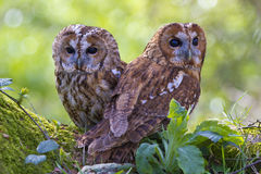 Pair of tawny owls. Two tawny owls sat on a branch stock images