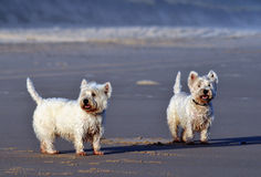 Pair of Terriers. Pair of West Highland White Terriers on the beach Stock Photo