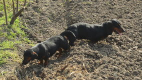 Pair of Tied Dachshund Dog Mating, Animal Sex Scene stock video footage