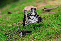 Pair of tiger swallowtail butterflies Stock Images