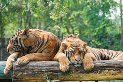 Pair of tigers. Resting on a plank on a sunny day stock images